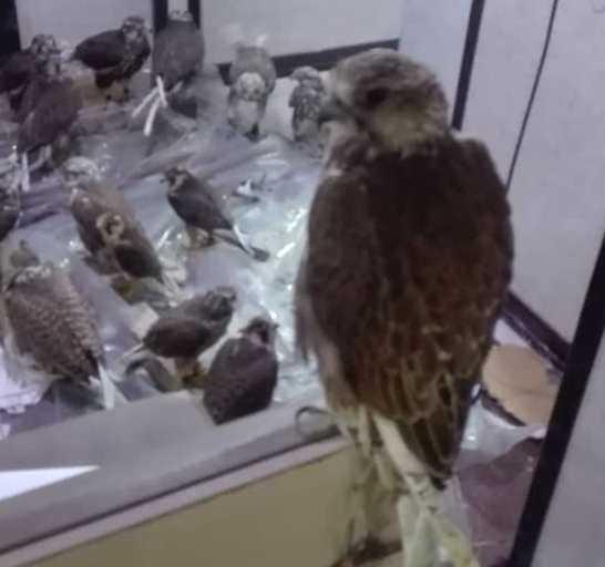 کشف وضبط محموله قاچاق 22 پرندگان شکاری در عسلویه