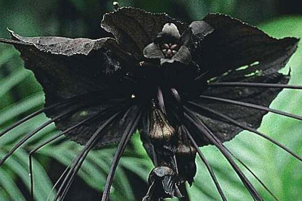 گیاهی که همشکل با خفاش است!